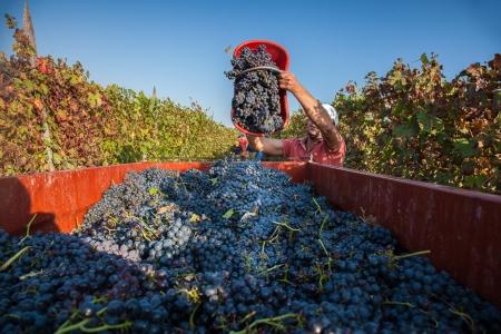 La vendemmia nella terra del vino